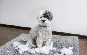 Dog ripping up pillow