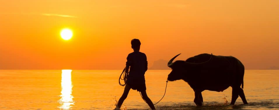 Sunset with bull
