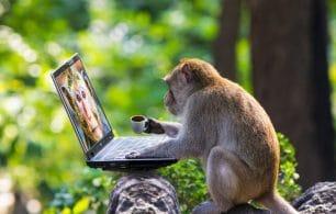 Monkey on a laptop