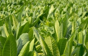 Tobacco leaves
