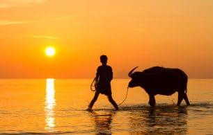 Bull sunset