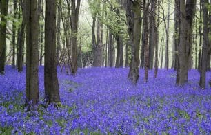 Bluebells in field