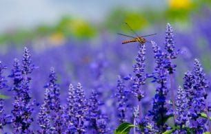 close up lavender with dragonfly