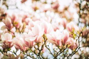 Magnolia flowers in warm glow