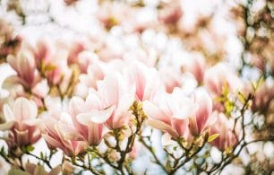 Magnolia flowers in warm glow