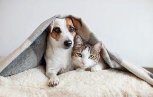 Dog and cat together under blanket