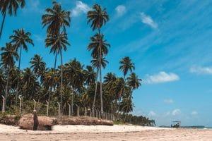 coconut trees beach blue skies
